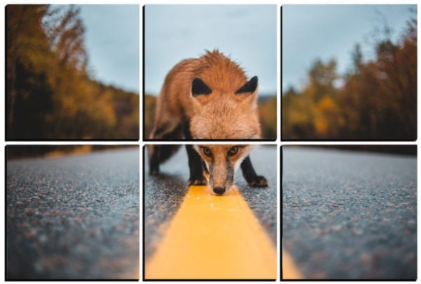 Red fox sniffing around on the road printed on 6 stylish PhotoSquared photo boards